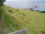 Sheeps everywhere